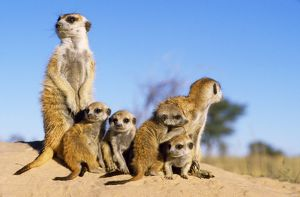 CH-5822 Suricate / Meerkat - adult babysitters & young