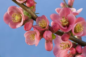 Chaenomeles flowers - in spring