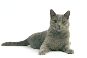 Chartreux Cat - Lying down