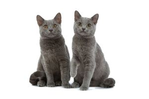 Chartreux Cats - two sitting