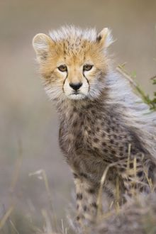 Cheetah - 10-12 week old cub