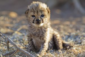 Cheetah - 19 days old male cub