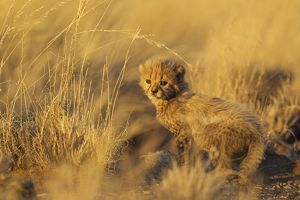 Cheetah - 39 days old male cub in the last light