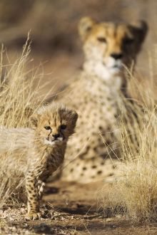 Cheetah - 39 days old male cub with its mother