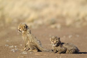 Cheetah - two 39 days old male cubs