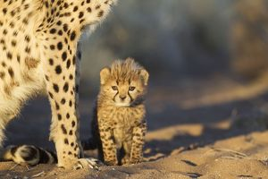 Cheetah - 40 days old male cub next to its mother