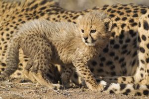 Cheetah - 40 days old male cub next to its resting mother