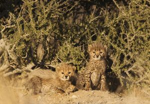 Cheetah - two 40 days old male cubs