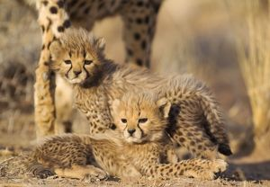 Cheetah - two 40 days old male cubs next to their mother