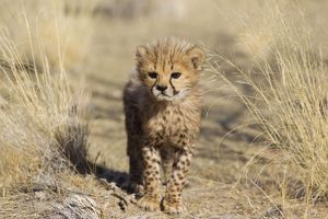 Cheetah - 41 days old male cub