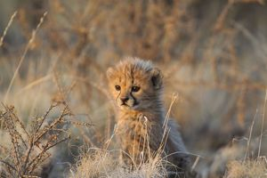 Cheetah - 41 days old male cub in the last light