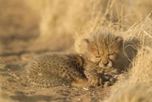 Cheetah - 41 days old male cub sleeping
