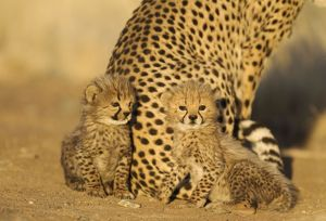 Cheetah - two 41 days old male cubs next to their