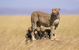 CHEETAH - with four 6 week-old cubs
