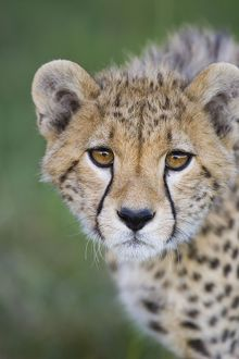 Cheetah - 7-9 month old cub