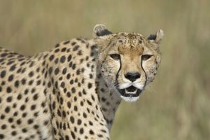 Cheetah - adult female