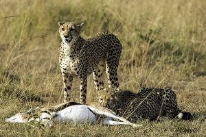 Cheetah adult female with cub feeding on Thomson's Gazelle