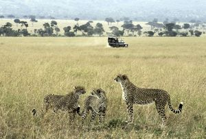 Cheetah adult female with cubs on lookout with safari