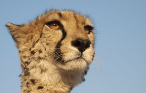Cheetah - close-up of a female