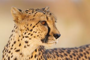 Cheetah - close-up of a female in the last light