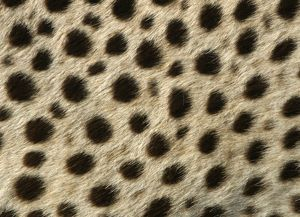 Cheetah - close-up of fur / coat, showing spot pattern