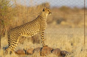Cheetah - female at the fence of her enclosure