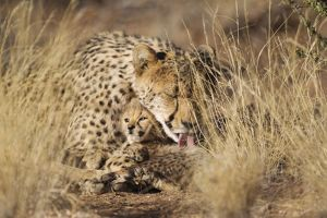 Cheetah - female grooming its 39 days old male cub