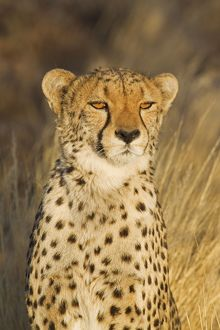 Cheetah - female in the last light of the evening
