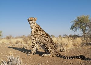 Cheetah - female - resting in the grass to the right a male