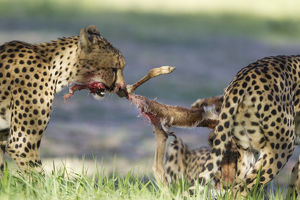 Cheetah - female and her two subadult female cubs