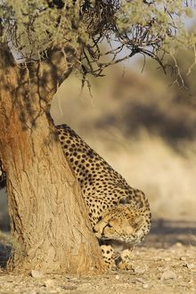 Cheetah - male checks the trunk of an Acacia tree