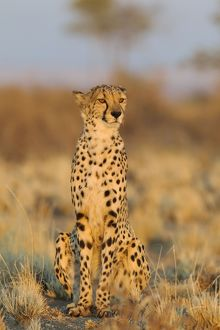 Cheetah - male in the morning light observing its