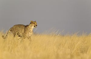 Cheetah - male running