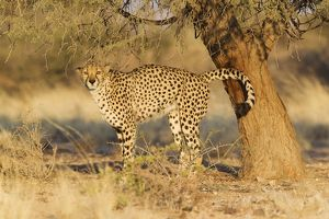 Cheetah - male urinates at the trunk of an Acacia