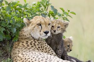 Cheetah - mother and 8-9 week old cub(s)