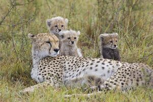 Cheetah - mother and 8 week old cub(s)