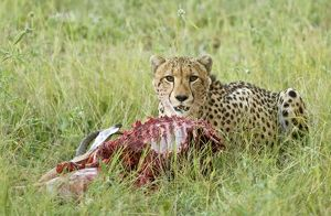 Cheetah - With partly eaten impala prey