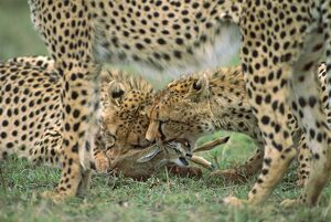 Cheetah - with prey (ThomsonOA³ gazelle)