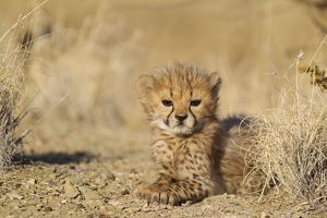 Cheetah - resting 41 days old male cub