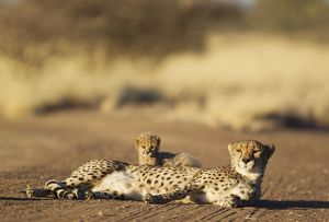 Cheetah - resting female with its 39 days old male