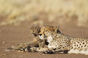 Cheetah - resting female with its 39 days old male cub
