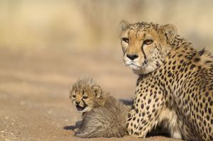 Cheetah - resting female with its 40 days old male cub