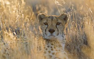 Cheetah - resting male