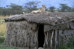 Cheetah - resting on roof of mud hut.