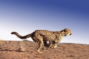 Cheetah - running