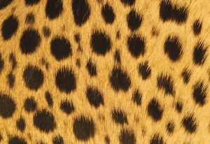 Cheetah - skin patterns
