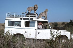 Two cheetah standing on roof of Landrover