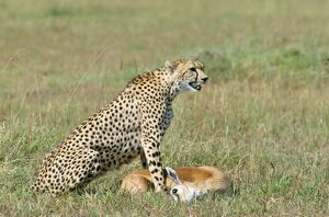 Cheetah - With Thomson's Gazelle