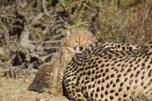 Cheetah - tired 40 days old male cub rests head