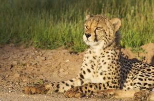 Cheetah - young male - resting in the early morning
